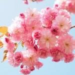 cherry-blossom-1260641__180